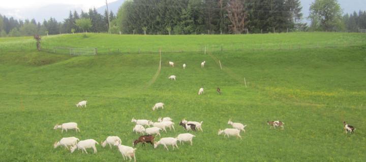 (Bio)logisch Reisen im Gailtal: Ziegenkäserei Fuchs-Zerbst