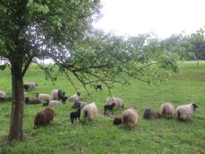 Schafe aus der Lüneburger Heide