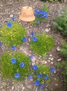 Enzian im Kräutergarten